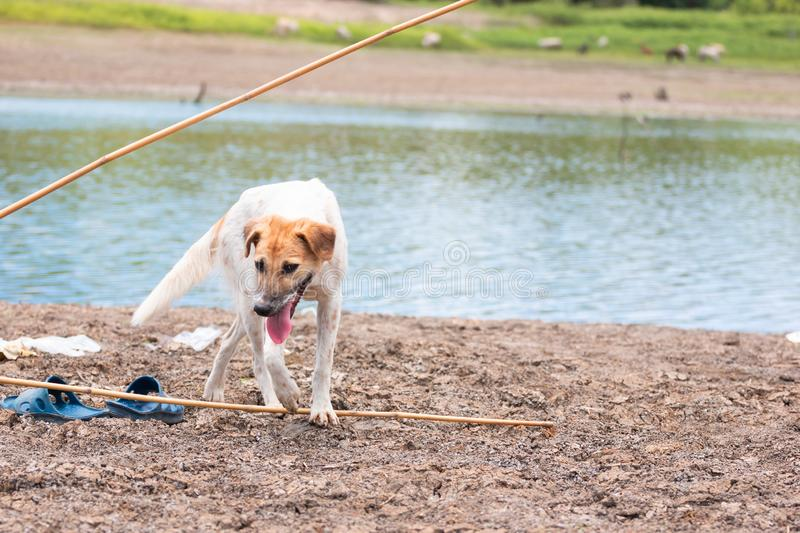 White dog find food at Land with dry and cracked ground because dryness global warming. Global warming background royalty free stock images