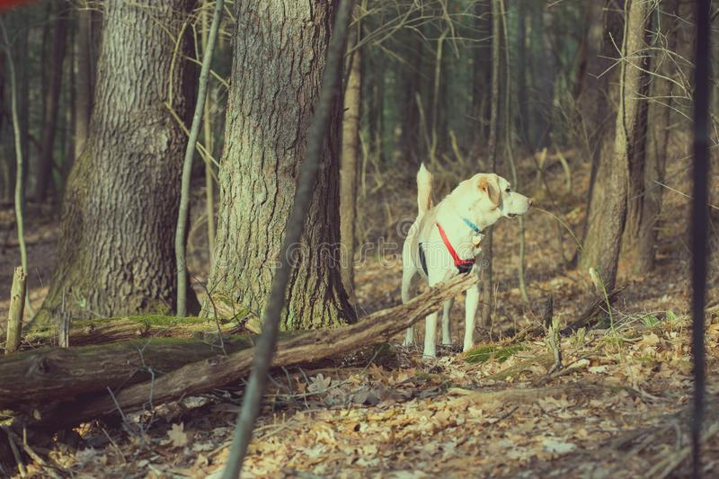 White dog in the forest on a sunny afternoon. Dog in the forest standing between the trees. Wearing a red harness and looking off into the distance, on a sunny stock images