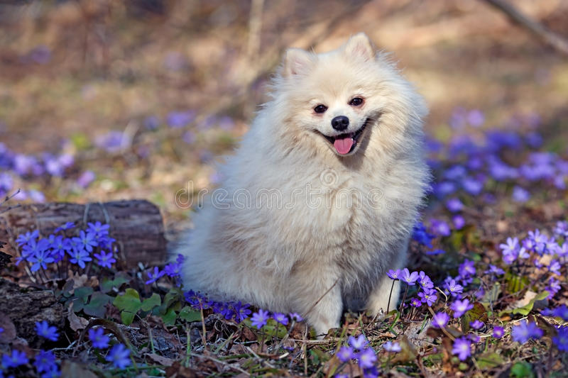 White dog German Spitz is sitting on the lawn. In colors stock images
