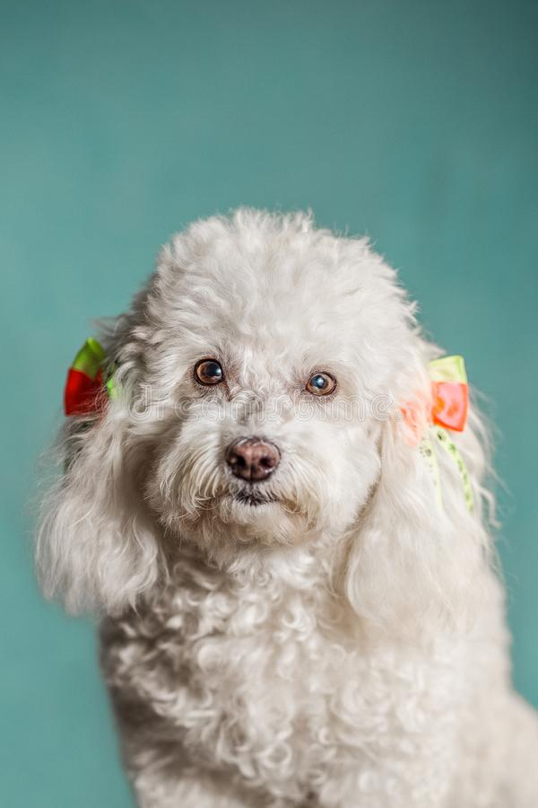 White dog in a green background looking at the camera with yellow and orange ties on her ears and curly white hair. White dog in a green background looking at royalty free stock photos