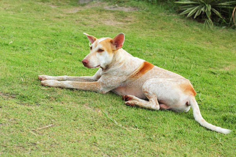 White dog on the green grass. White dog on the green grass stock images