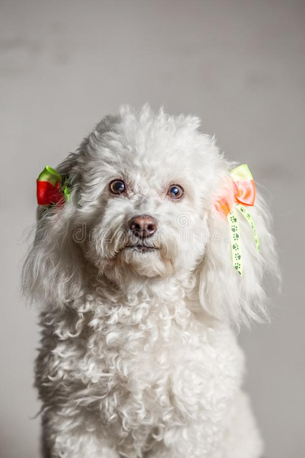 White dog in a grey background looking at the camera with yellow and orange ties on her ears and curly white hair. White dog in a grey background looking at the royalty free stock images