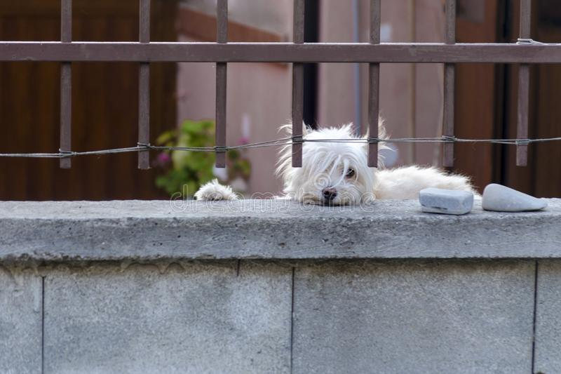 White dog is guarding house and looking at the passersby. Cute hound behind metal fence is standing at the garden gate and. Directly to the camera. Pooch with royalty free stock image