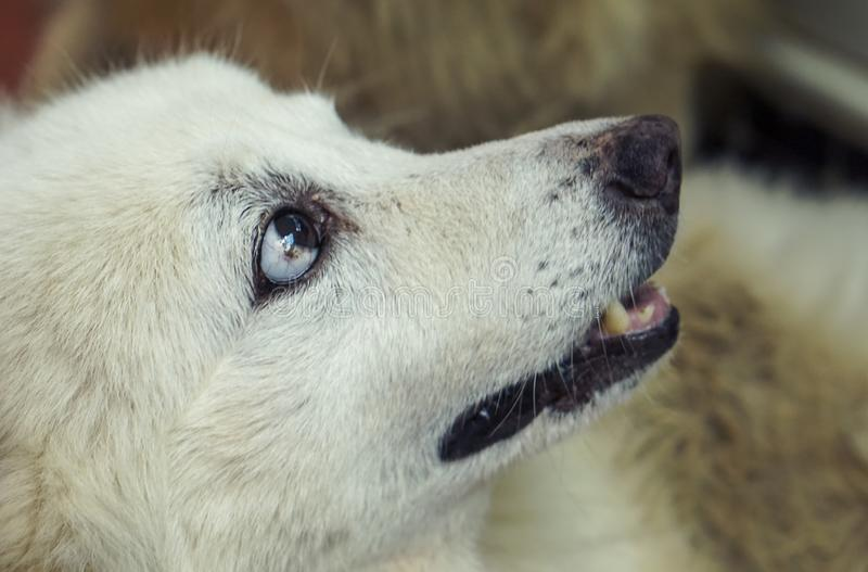 White dog head It`s looking at the side of it royalty free stock image