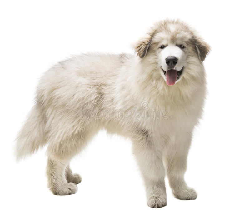 White Dog Husky Puppy, Whelp Isolated over White Background. Looking at Camera stock photography