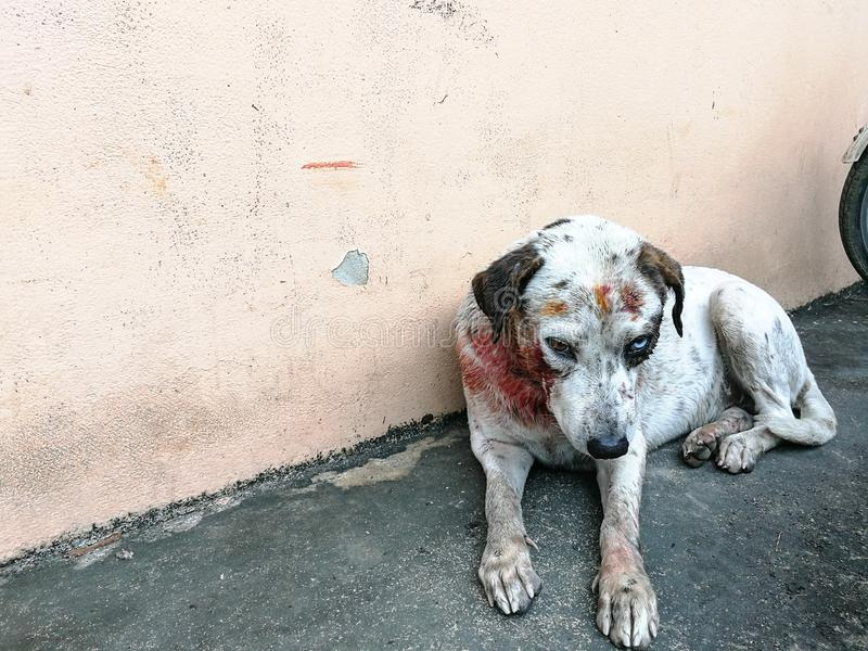 White dog injury after bite., Stray dog attack dog. White dog have blood after bite and hurt stock images