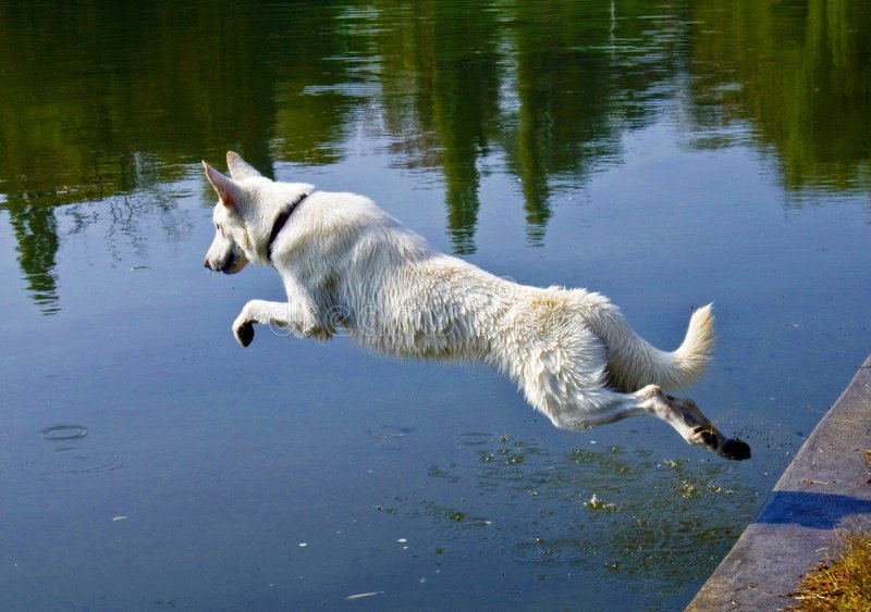White dog jumping in water. To fetch stick royalty free stock photos