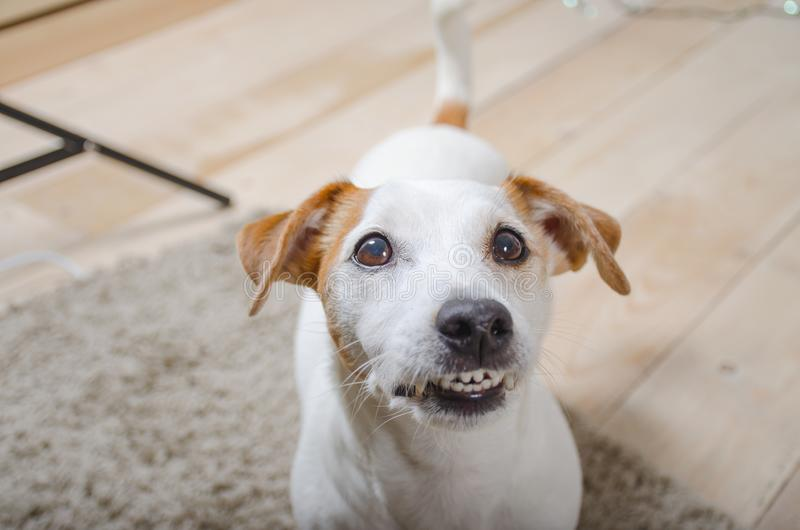 White dog bares his teeth and looking at the camera. The white dog let the teeth and looking at the camera from the bottom up royalty free stock photo
