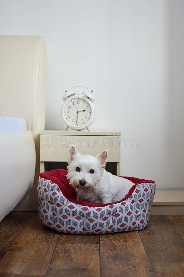 White dog lies in his dog bed stock photography