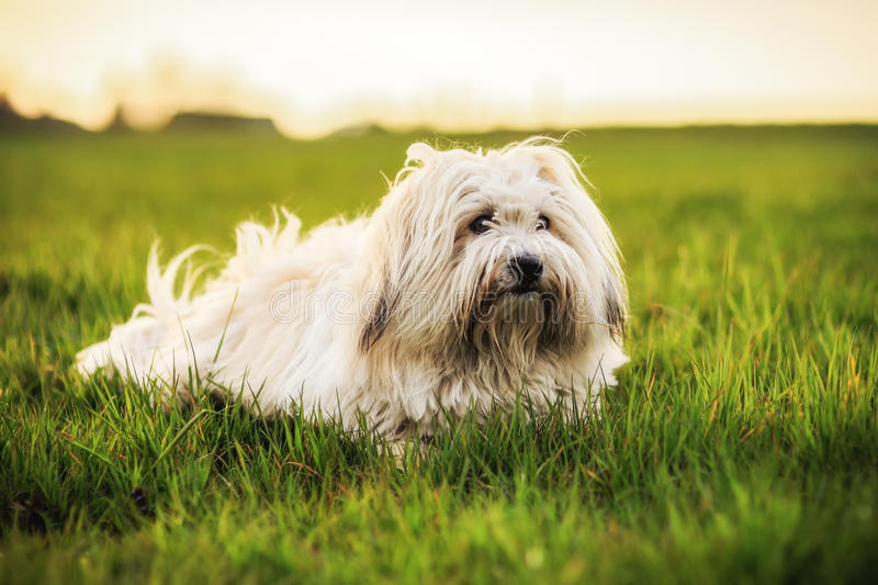 White Dog on Meadow. Funny White small dog playing on a spring meadow in the evening. Coton de Tulear breed. Shallow depth of field. Color Filters and silhouette royalty free stock images