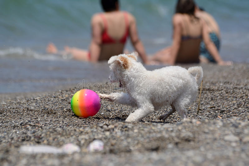 White dog plays with a ball on the beach royalty free stock photo