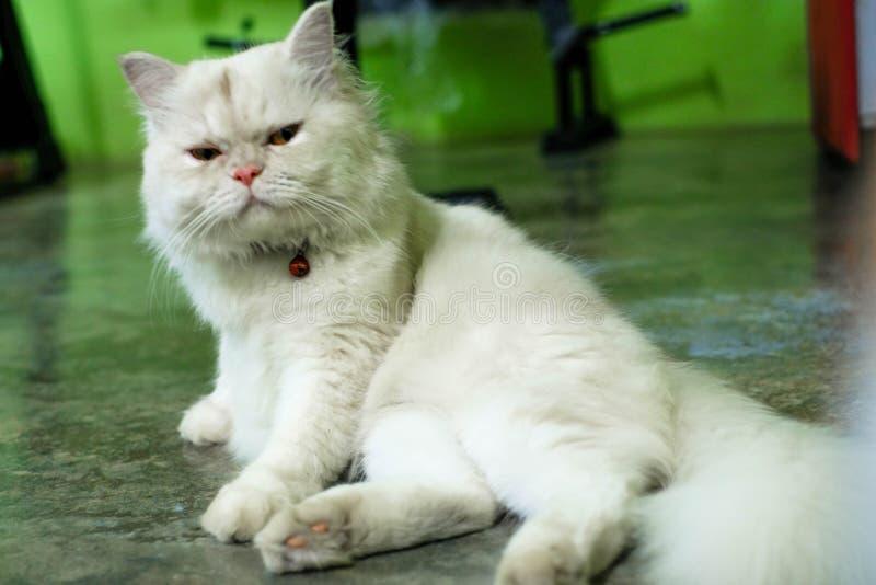 White a dog pomeranian close up portrait.  royalty free stock image