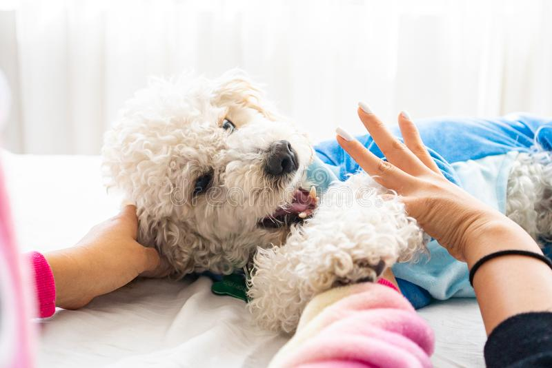 White dog poodle in bed. Poodle in bed having a pajama party stock images