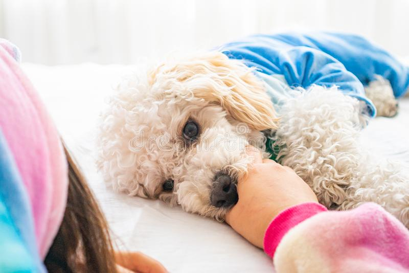 White dog poodle in bed. Poodle in bed having a pajama party royalty free stock images