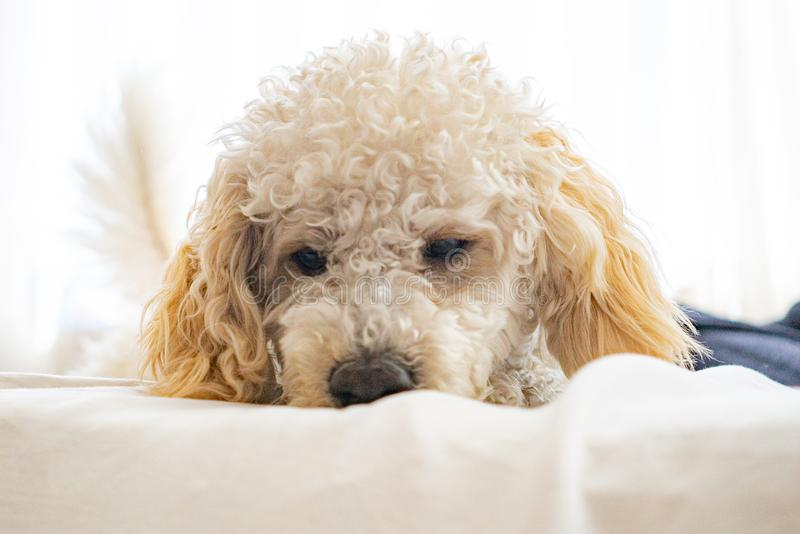 White dog poodle in bed. Poodle in bed having a pajama party royalty free stock photo