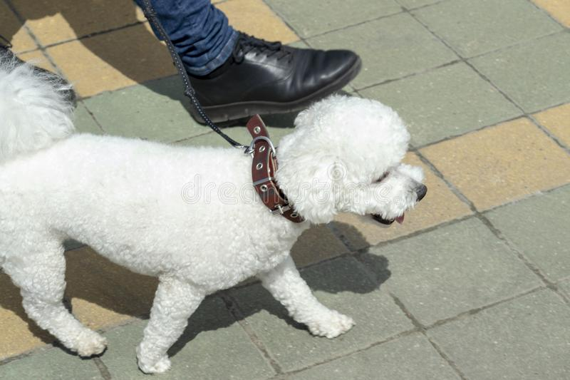 White dog - a poodle runs along the sidewalk with its owner. stock images