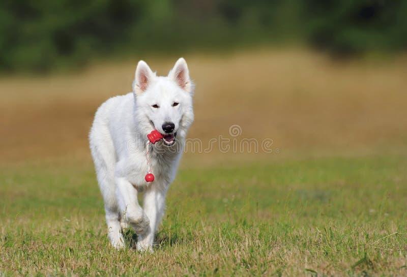 White Dog Running over Green Grass stock image