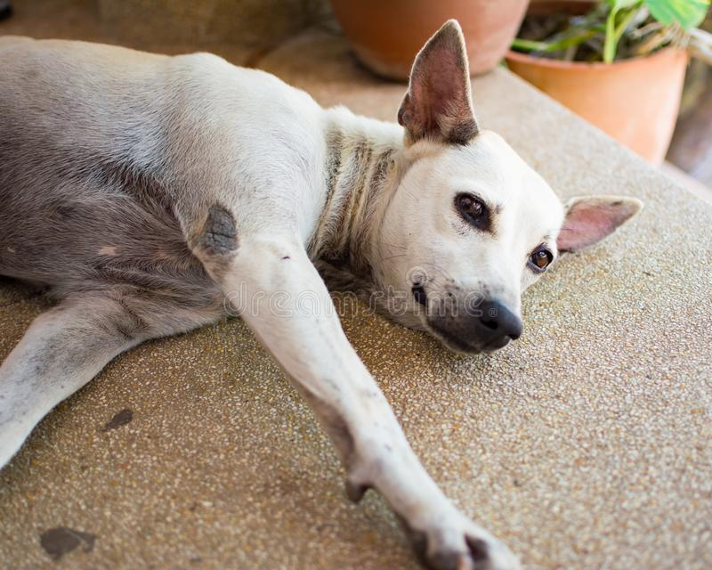A white dog is sleeping on the floor. It is a stray dog that reserve the public area on the ladder to be its royalty free stock images