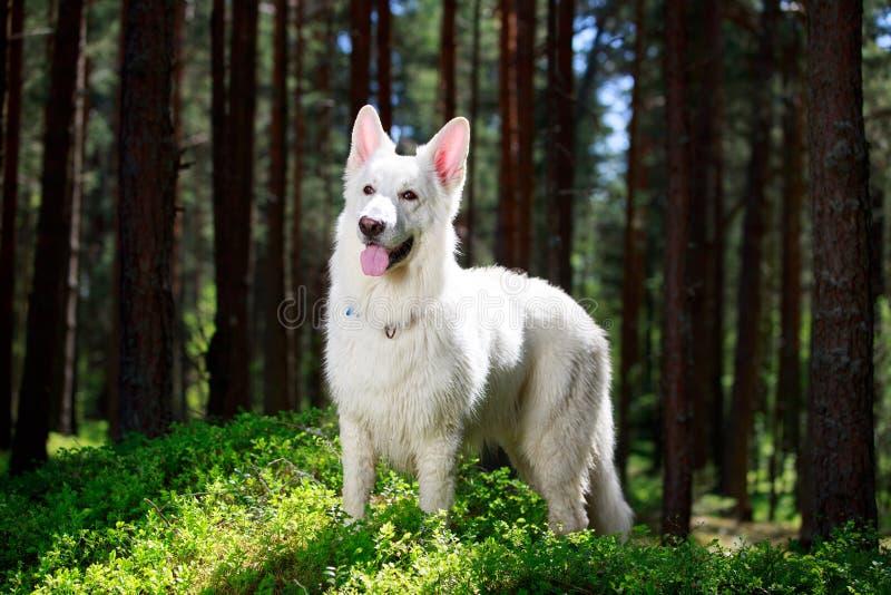 Download White dog stock photo. Image of white, blanc, berger - 31388386