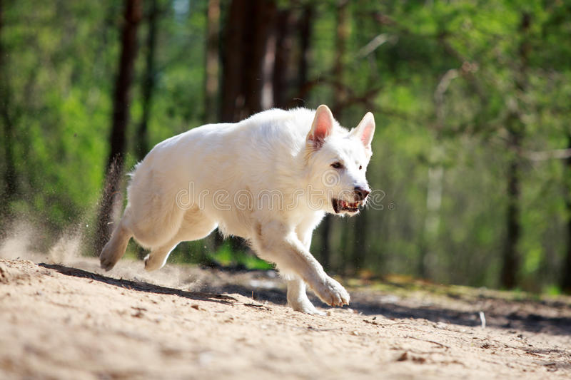 Download White dog stock image. Image of forest, berger, swiss - 31389171