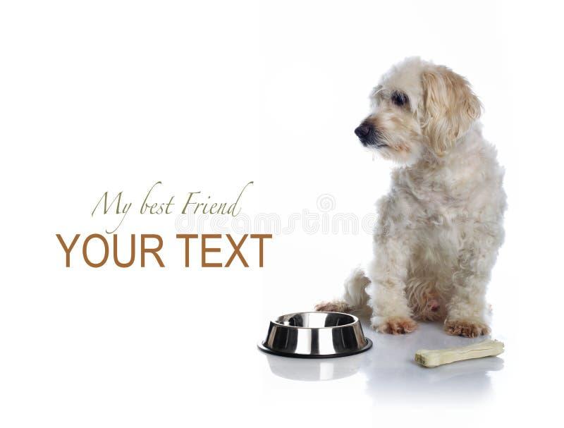 White dog waiting for food royalty free stock image