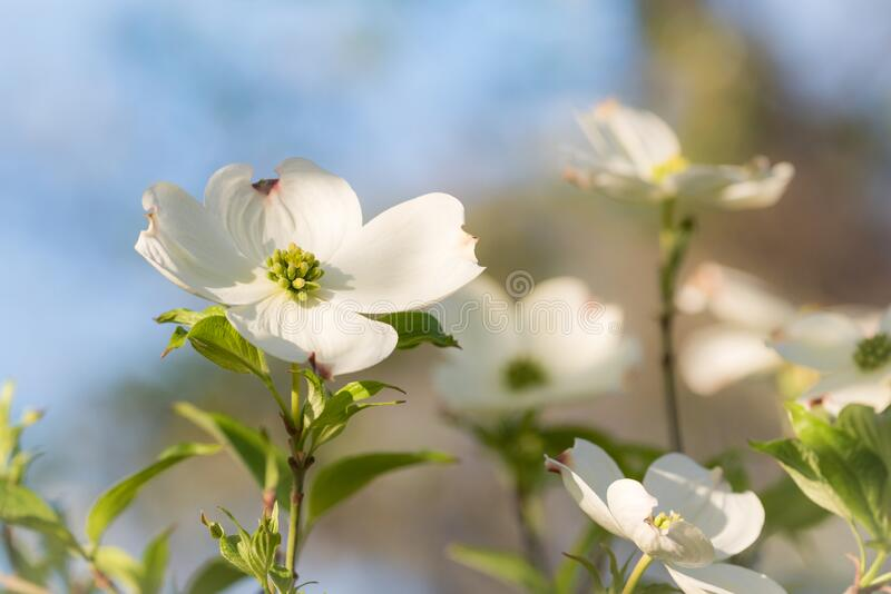 White Dogwood Blooms Closeup in Late Afternoon Sun. Late afternoon sun lights the upright blooms of a white dogwood tree. The front left bloom is sharply focused stock images