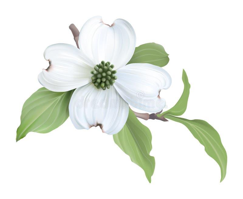 White Dogwood (Cornus florida). Hand drawn vector illustration of blooming dogwood on transparent background