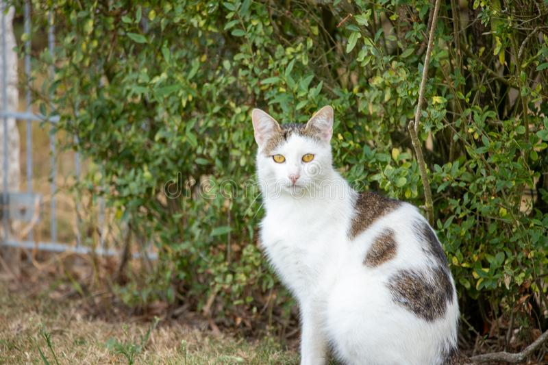 White domestic cat with brown patches sitting in front of green bush looking into camera. On a summer day stock photography