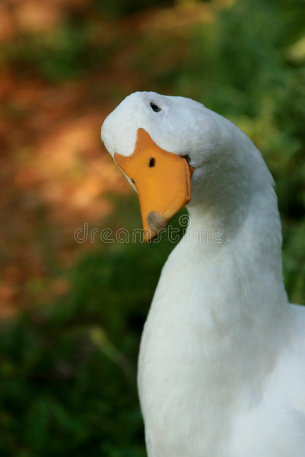 White Domestic Duck stock image