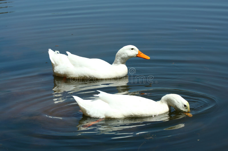 Download White Domestic Ducks In A Pond Stock Image - Image of duck, poultry: 5187027