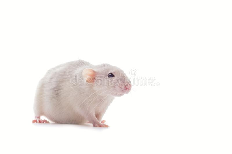 White domestic dumbo husky rat isolated on white background. Fat pregnant rat. Mouse, lab, animal, laboratory, rodent, cute, mammal, pet, tail, pest, fur stock images