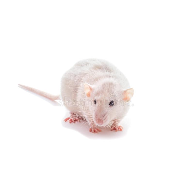 White domestic dumbo husky rat isolated on white background. Fat pregnant rat. Mouse, lab, animal, laboratory, rodent, cute, mammal, pet, tail, pest, fur royalty free stock photo