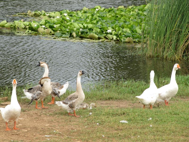 White domestic geese walk near the pond with water lilies stock photography