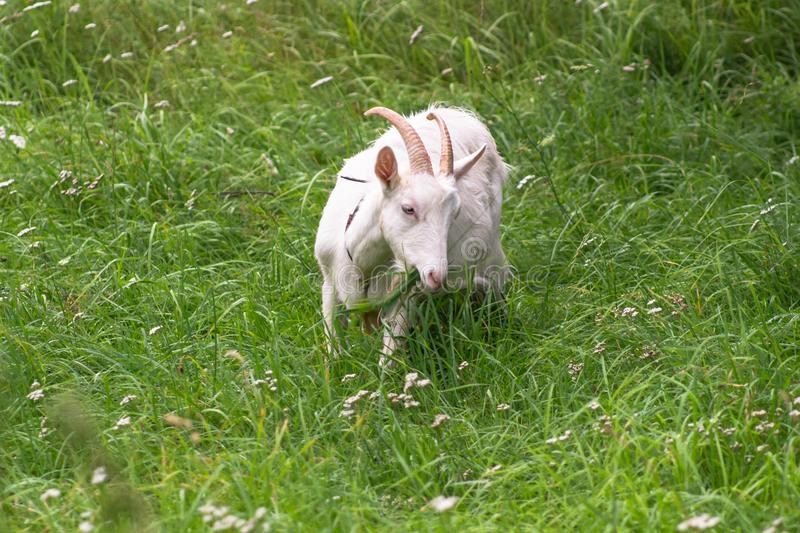 White domestic goat, feeding on fresh grass in Russian outback. royalty free stock images