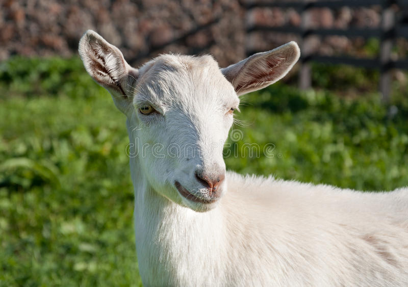 White domestic goat. Portrait of a white domestic goat outdoors royalty free stock photography
