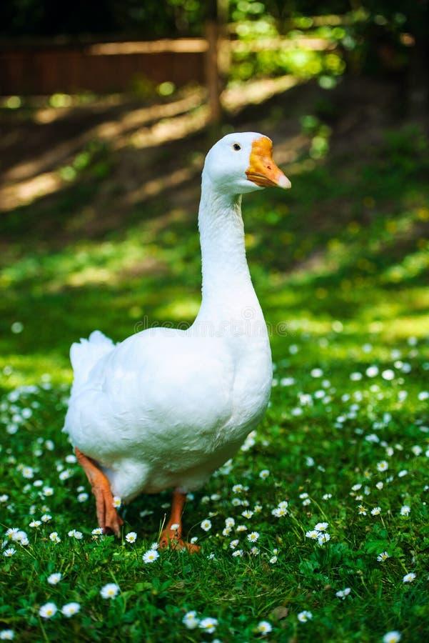 White domestic goose. Agriculture, animal, animals, anser, avian, background, beak, bird, branta, canada, canadensis, canadian, close-up, closeup, domesticated royalty free stock images