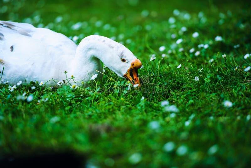 White domestic goose. Agriculture, animal, animals, anser, avian, background, beak, bird, branta, canada, canadensis, canadian, close-up, closeup, domesticated royalty free stock photo
