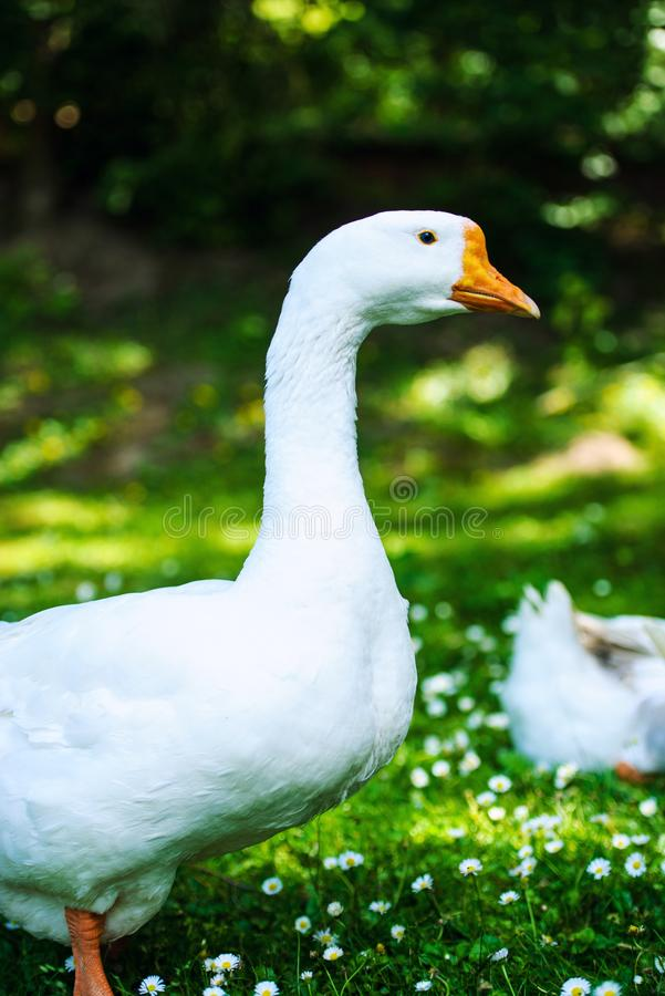 White domestic goose. Agriculture, animal, animals, anser, avian, background, beak, bird, branta, canada, canadensis, canadian, close-up, closeup, domesticated royalty free stock photos