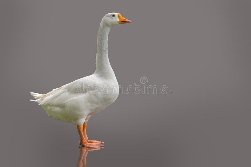 White domestic goose isolated on purple-grey background.  stock photography