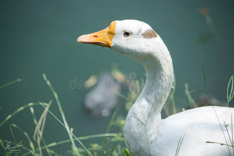 White Domestic Goose Near a Water Closeup Photo royalty free stock images