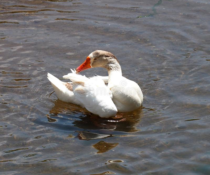 White Domestic Goose In Arade River Bank In Silves Portugal. White domestic goose swimming in the Arade River in the town of Silves in the Algarve region of royalty free stock photo