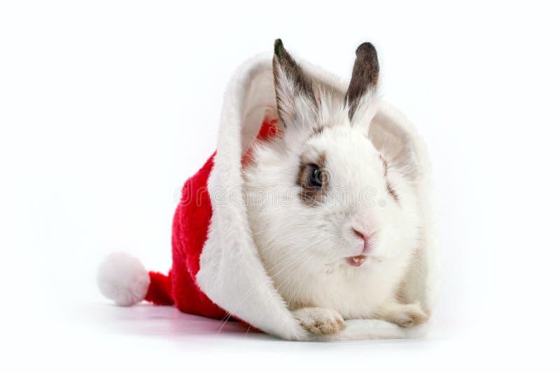 White domestic rabbit in Santa hat stock photography