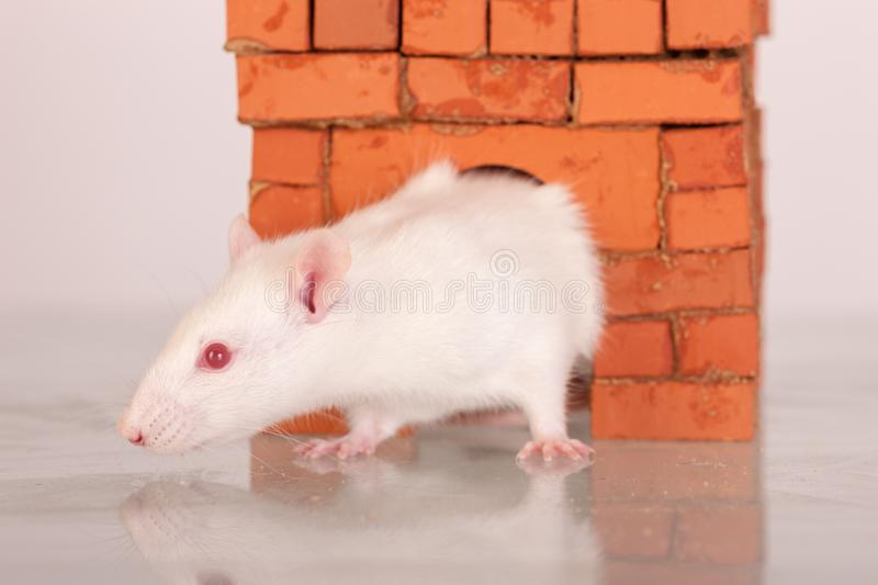 White domestic rat. In a brick house royalty free stock image