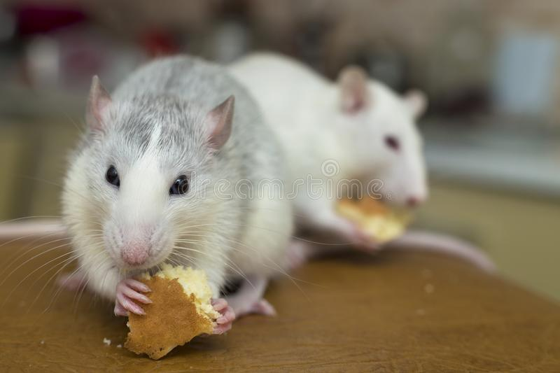 White domestic rat eating bread. Pet animal at home.  stock photography