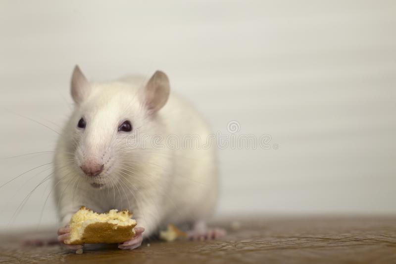 White domestic rat eating bread. Pet animal at home.  stock photos