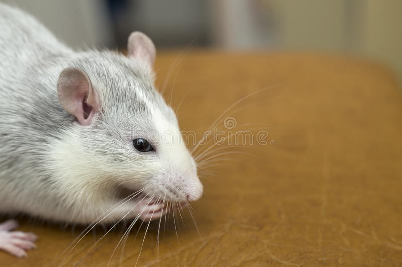 White domestic rat eating bread. Pet animal at home.  royalty free stock image