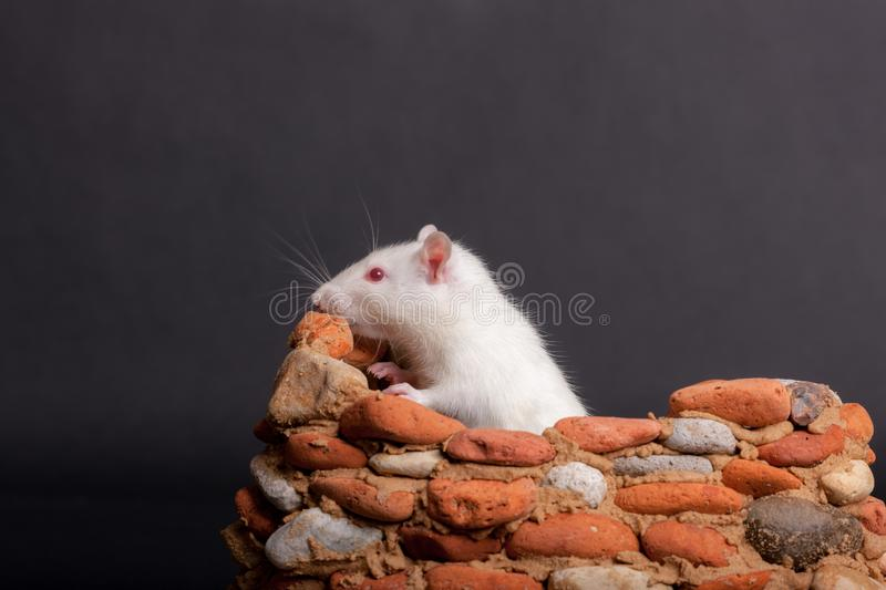White domestic rat. In a small stone fortress stock photography