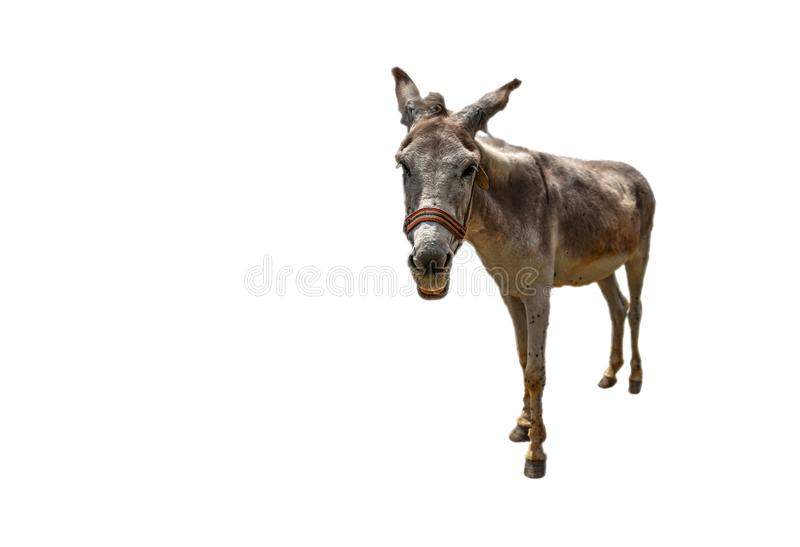 White donkey asinus in Latin is getting closer on isolated white background royalty free stock photos