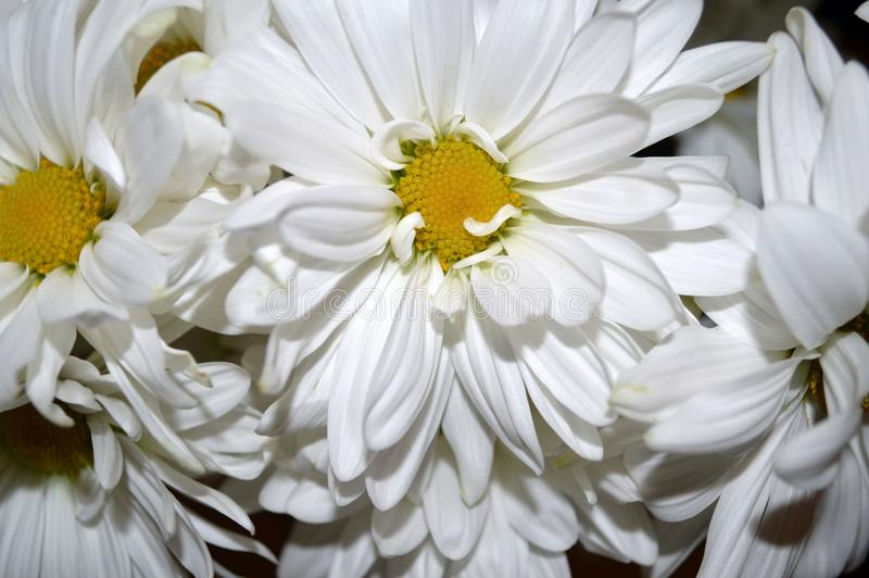 Download White Double Daisy Close Up Stock Photo - Image of spring, double: 84013734