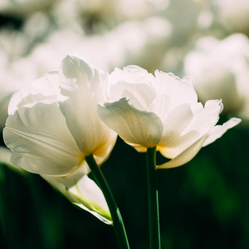 White Double Late Tulips Flowers In Spring Garden. Flower Bed royalty free stock photography